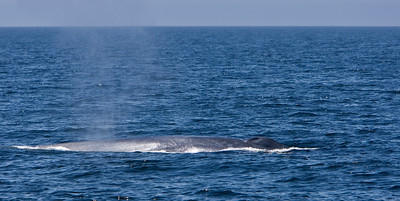 Blue whale in the Channel Islands National Marine Sanctuary, Santa Barbara Channel