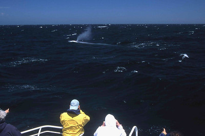 Blue whale surfacing  near a whale watching boat.  Note:  The original of this photo is a 35mm transparency.  If you would like to order a print or reproduction rights, please contact me.