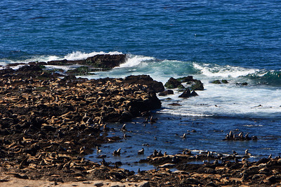 California sea lions hauled out on the rocks and shorline at Point Bennett, San Miguel Island
