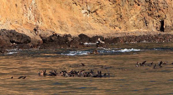California sea lions warming themselves near Anacapa Island.