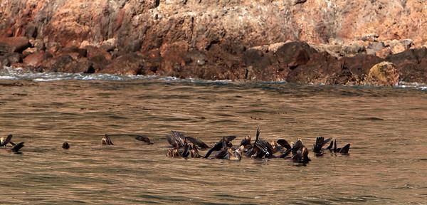 California sea lions warming themselves near Anacapa Island.