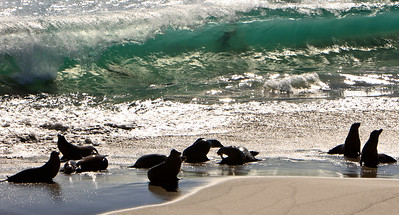 California sea lions hauled out on beach at Point Bennett, San Miguel Island