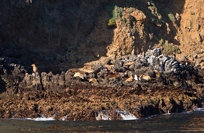California sea lions hauled out on Anacapa Island