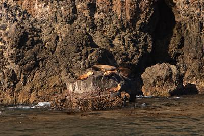 California sea lions hauled out on Anacapa Island