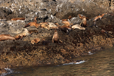 California sea lions hauled out on rocks along shore of Anacapa Island
