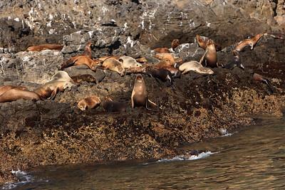 California sea lions hauled out on rocks along shore of Anacapa Island