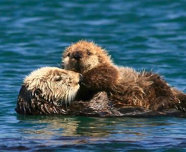 California sea otters