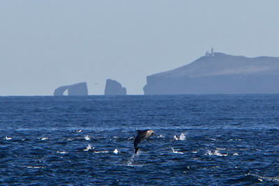 Common dolphins, Santa Barbara Channel, Channel Islands National Park