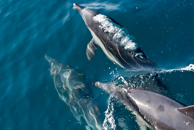 Common Dolphins in the Santa Barbara Channel
