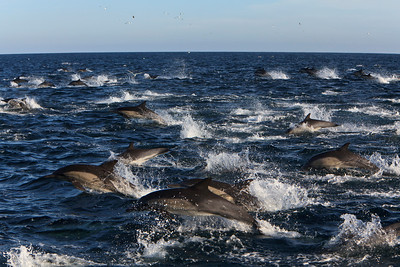 Common dolphin feeding frenzy, Santa Barbara Channel, Channel Islands National Park