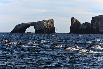Common dolphin feeding frenzy near Arch Rock, Anacapa Island, Santa Barbara Channel, Channel Islands National Park
