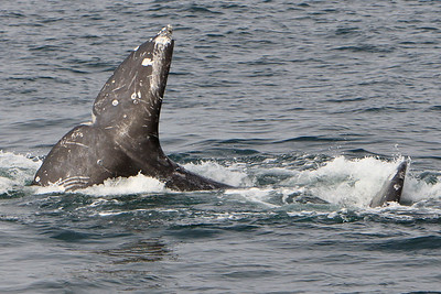 Gray whales (Eschrichtius robustus) courting and mating behavior in the Santa Barbara Channel