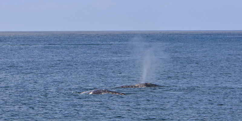 Gray Whales - Courting and Mating behavior