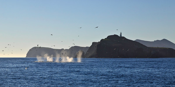 Gray whales - Santa Barbara Channel