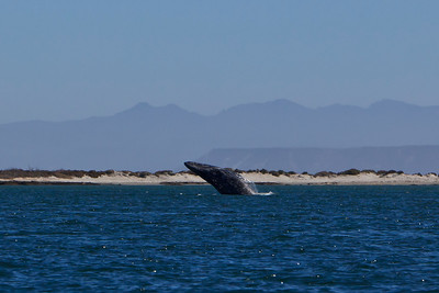 Gray whales, San Ignacio Lagoon, Baja California Sur, Mexico.  Breach.