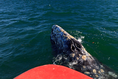 Gray whales, San Ignacio Lagoon, Baja California Sur, Mexico.  Adult surfaces at bow of panga used for whale watching.