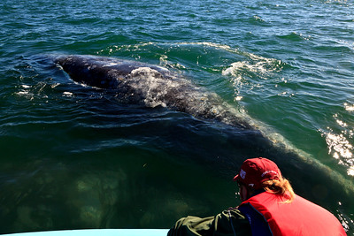 Gray whales, San Ignacio Lagoon, Baja Peninsula, Mexico.  Friendly encounter.