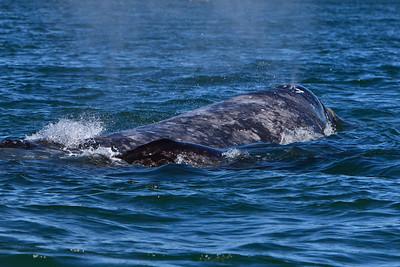 Gray whales, San Ignacio Lagoon, Baja Peninsula, Mexico.  Cow and calf