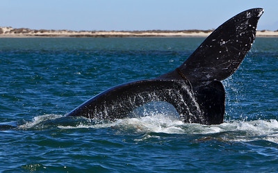 Gray whales, San Ignacio Lagoon, Baja Peninsula, Mexico