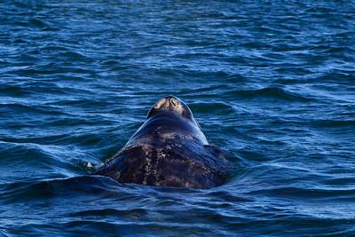 Gray whales, San Ignacio Lagoon, Baja California Sur, Mexico.  Calf.