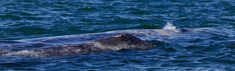 Gray whales, San Ignacio Lagoon, Baja Peninsula, Mexico.  Cow and calf.