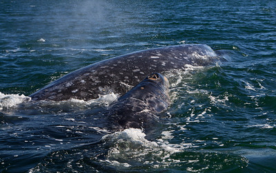 Gray whales, San Ignacio Lagoon, Baja California Sur, Mexico.  Cow and calf.