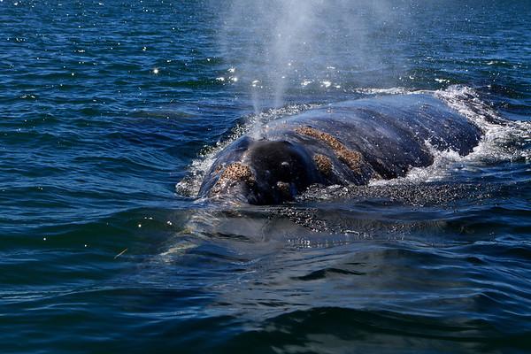 Gray whales - San Ignacio Lagoon