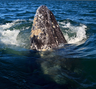 Gray whale spy hop, San Ignacio Lagoon, Baja California Sur, Mexico