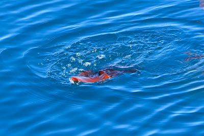 Humboldt squid (Dosidicus gigas)