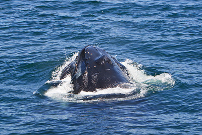 Humpback whales (Megaptera novaeangliae) lunge feeding in the Santa Barbara Channel, near Santa Rosa and Santa Cruz Islands