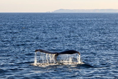Humpback whale near Anacapa Island