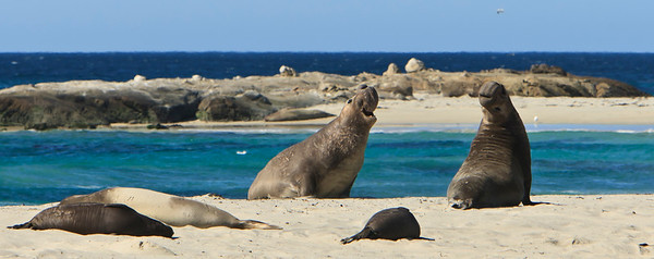 Northern elephant seals at Crook Point, San Miguel Island, Channel Islands National Park.  Young bulls