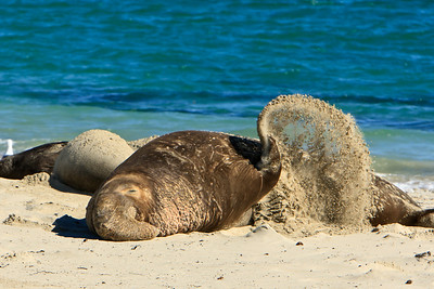 Northern elephant seals at Crook Point, San Miguel Island, Channel Islands National Park.  Bull flicks sand onto himself.