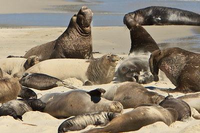 Northern elephant seals at Crook Point, San Miguel Island, Channel Islands National Park