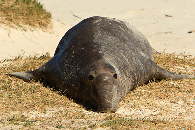 Northern elephant seals at Crook Point, San Miguel Island, Channel Islands National Park.  Young bull