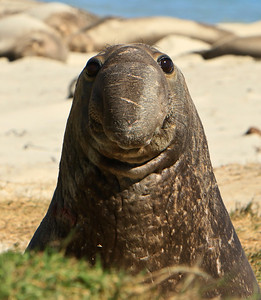 Northern elephant seals at Crook Point, San Miguel Island, Channel Islands National Park.  Curious young bull.