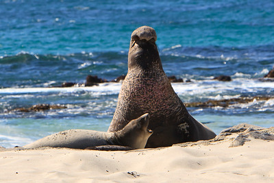 Northern elephant seals at Crook Point, San Miguel Island, Channel Islands National Park.  Bull and cow.