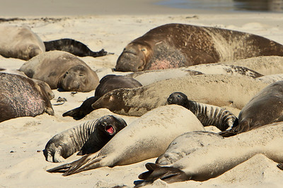 Northern elephant seals at Crook Point, San Miguel Island, Channel Islands National Park.  Pup yelping for attention.