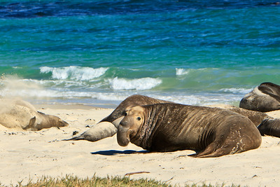 Northern elephant seals at Crook Point, San Miguel Island, Channel Islands National Park.  Bull
