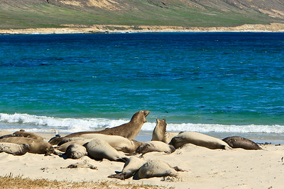 Northern elephant seals at Crook Point, San Miguel Island, Channel Islands National Park.  Domestic argument.