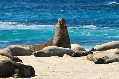 Northern elephant seals at Crook Point, San Miguel Island, Channel Islands National Park.  Bull and cows.