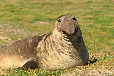 Northern elephant seals at Crook Point, San Miguel Island, Channel Islands National Park.  Young bull.