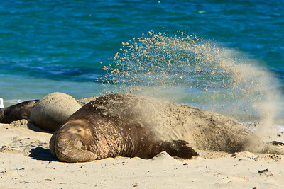 Northern elephant seals at Crook Point, San Miguel Island, Channel Islands National Park.  Bull flicks sand unto himself