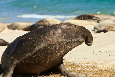 Northern elephant seals at Crook Point, San Miguel Island, Channel Islands National Park.  Young bull with sparring scars.