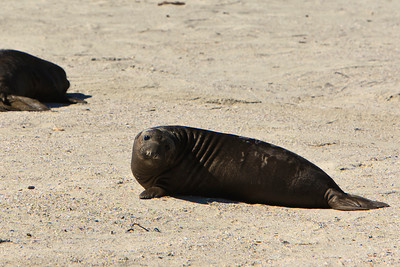 Northern elephant seals at Crook Point, San Miguel Island, Channel Islands National Park.  Pup