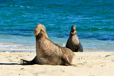 Northern elephant seals at Crook Point, San Miguel Island, Channel Islands National Park.  Bulls vying for dominance.