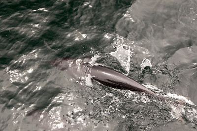 Northern Right Whale Dolphin, Santa Barbara Channel, Channel Islands National Marine Sanctuary