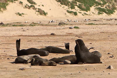 Northern fur seal use their flippers to cool themselves at Point Bennett.