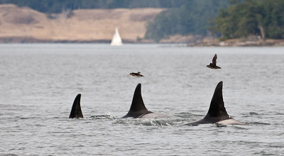 Orcas being followed by Rhinoceros aukets