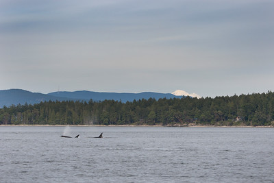 Orcas with Mount Baker in far background